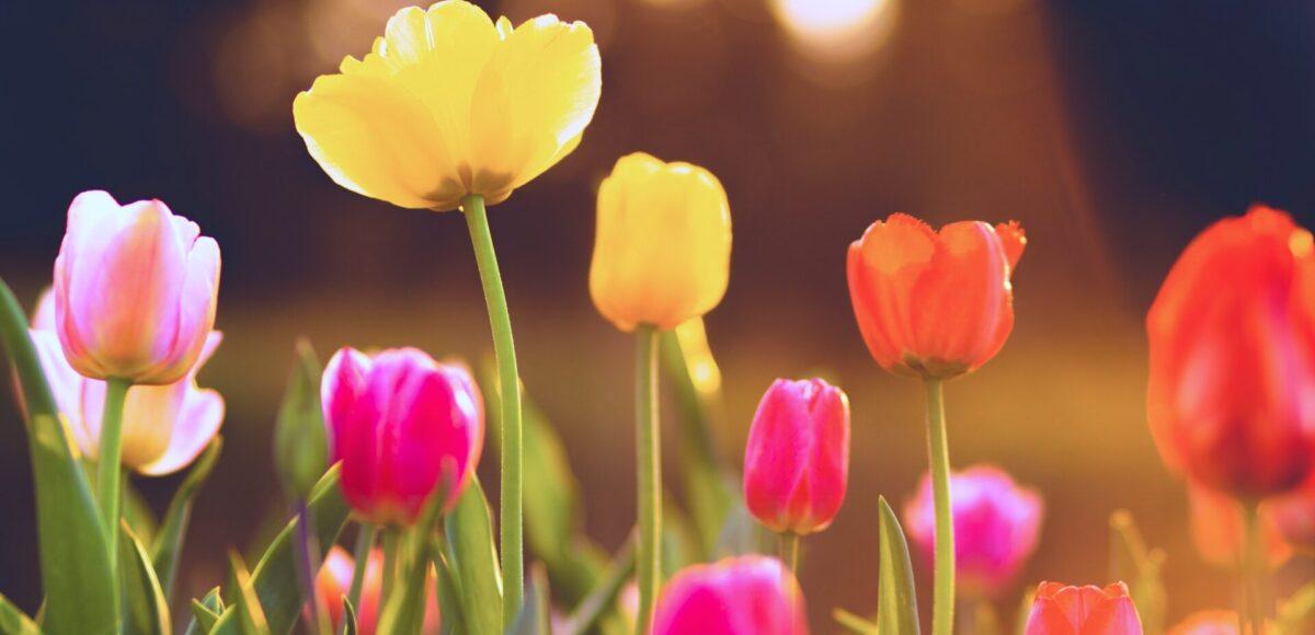 Tulpen Fingerspiel in der Kita